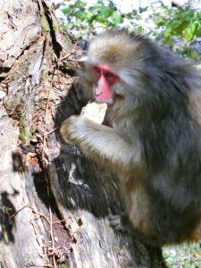 There were Japanese macaques everywhere