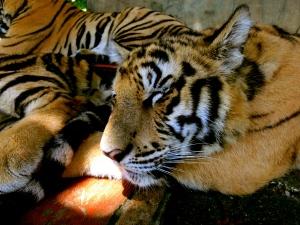 Let sleeping tigers lie...